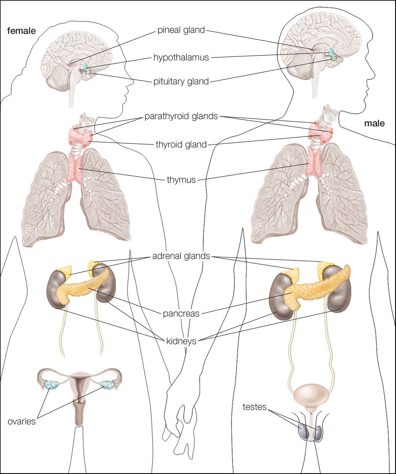 Endocrine System Human Glands Of The Human Endocrine System Art