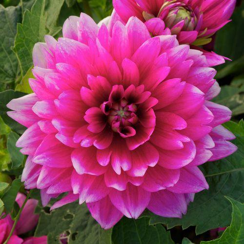 Dahlia Bluesette Dahlia Flowers Plants