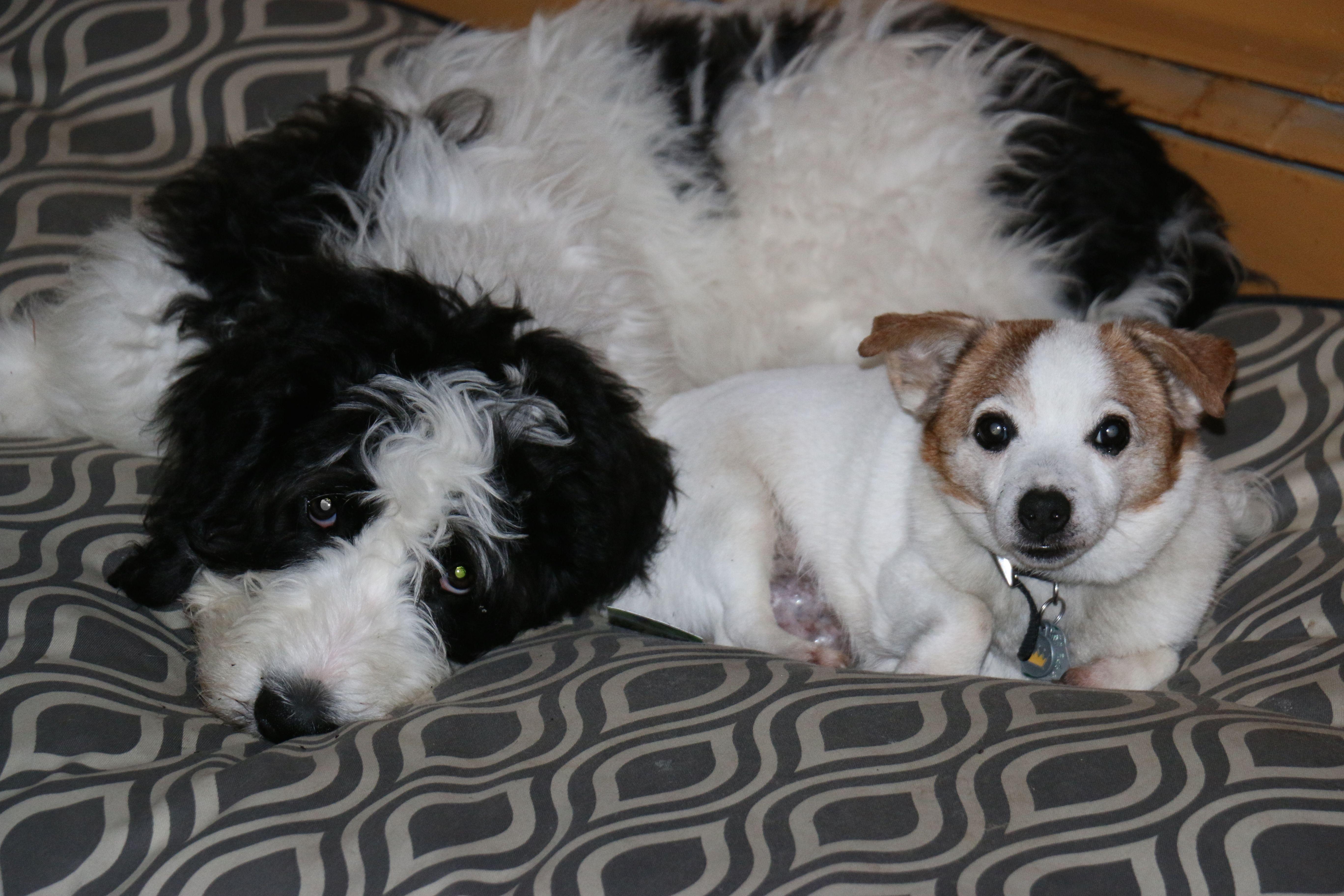 Park Art|My WordPress Blog_Saint Berdoodle Puppies For Sale Ohio