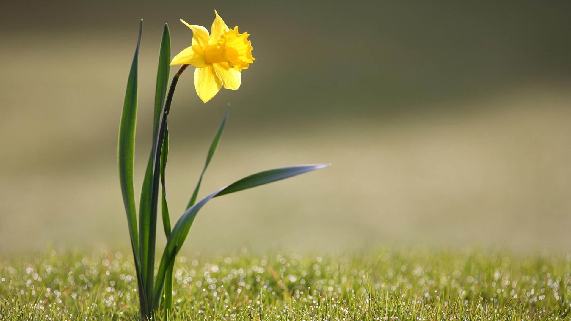 1920x1080 Wallpaper Daffodil Flower Yellow Stem Daffodils Daffodil Flower Plants