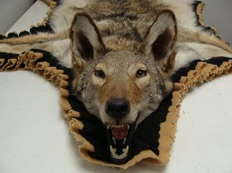 Coyote Rug   Fur, Feathers U0026 Fins Taxidermy
