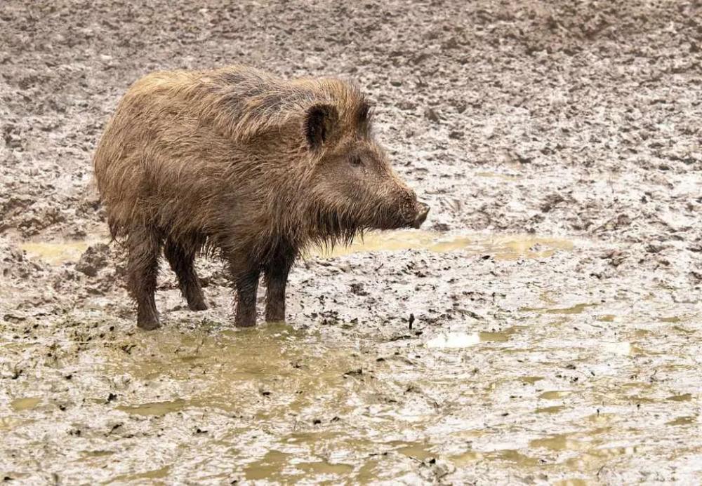 Wild Boar in 2020 Aggressive animals, Most aggressive