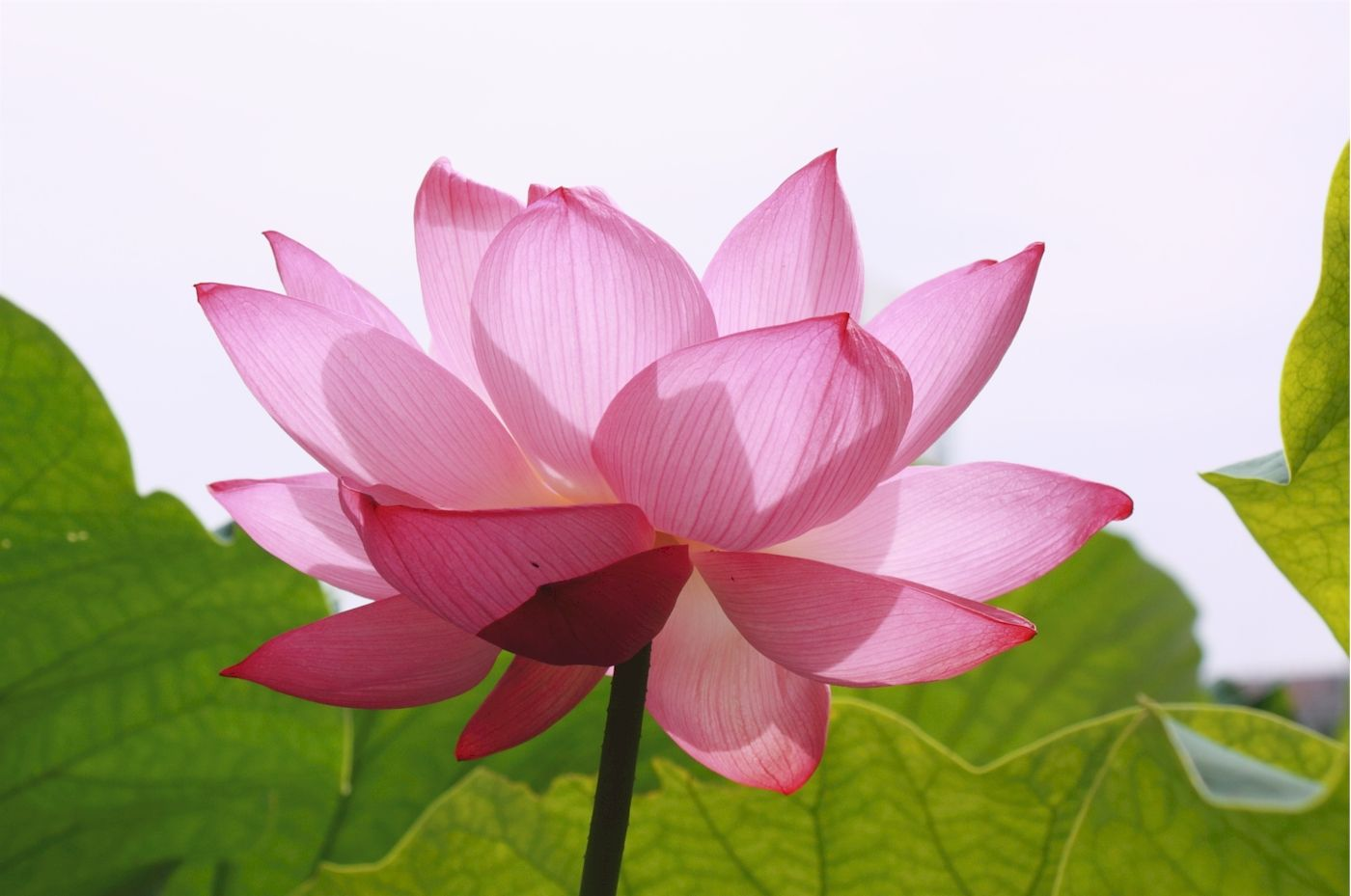 Lotus my new symbol of inner peace movement pinterest lotus the lotus flower is a symbol of finding strength through adversity the seeds of the lotus push up through the mud to reach the surface izmirmasajfo Image collections