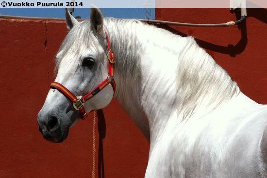 PRE stallion Perdigon XXXIX