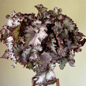 Begonia Lalomie Would Make An Interesting Halloween Floral Display Begonien Blumensamen Mehrjahrige Pflanzen