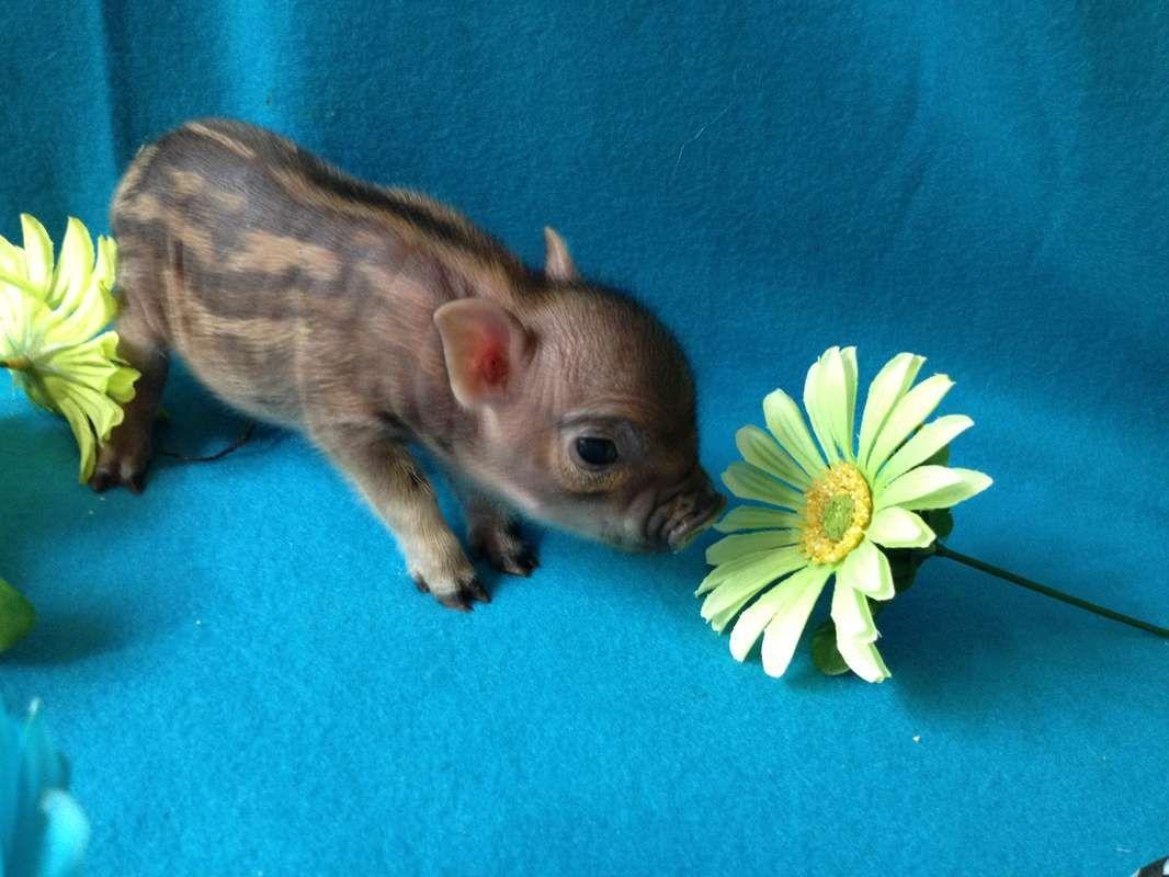 Pocket Nano Pigs Full-Grown | Designer Micro Mini Teacup ...