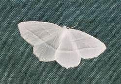 White moth - Bing Images