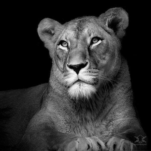 Захватывающие чернобелые портреты животных лев львица