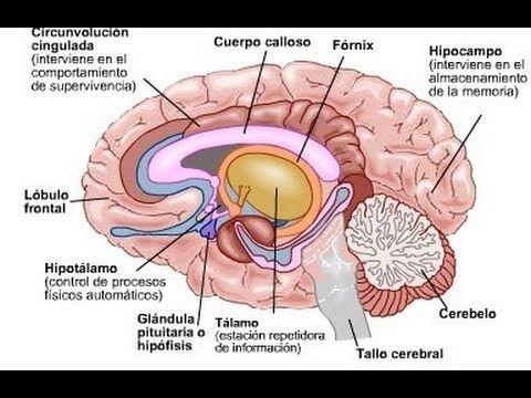 CURIOSIDADES SOBRE EL CEREBRO HUMANO - Datos interesantes, anatomia ...