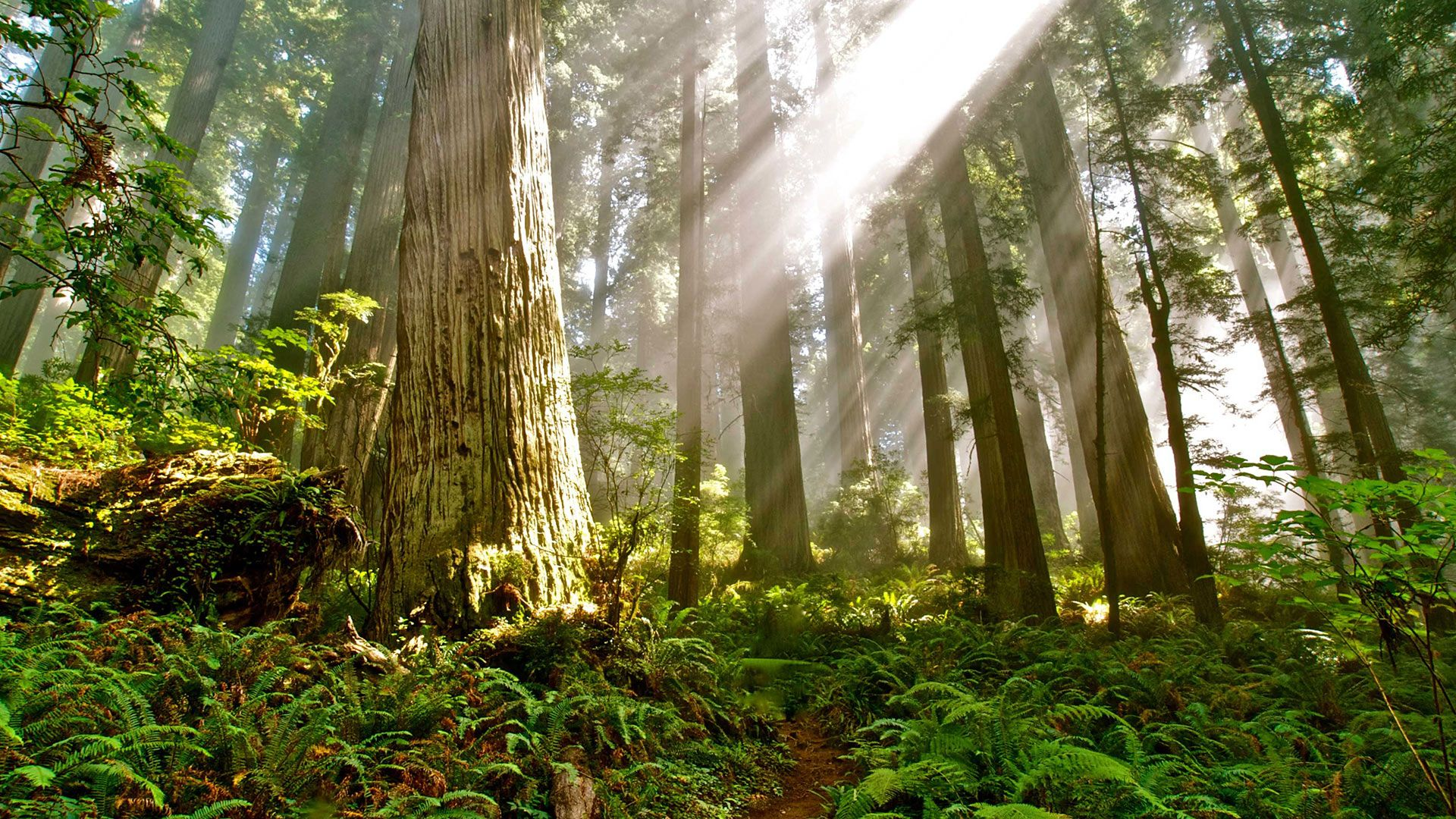 The Race to Save California's Last Old-Growth Redwood Forests ...