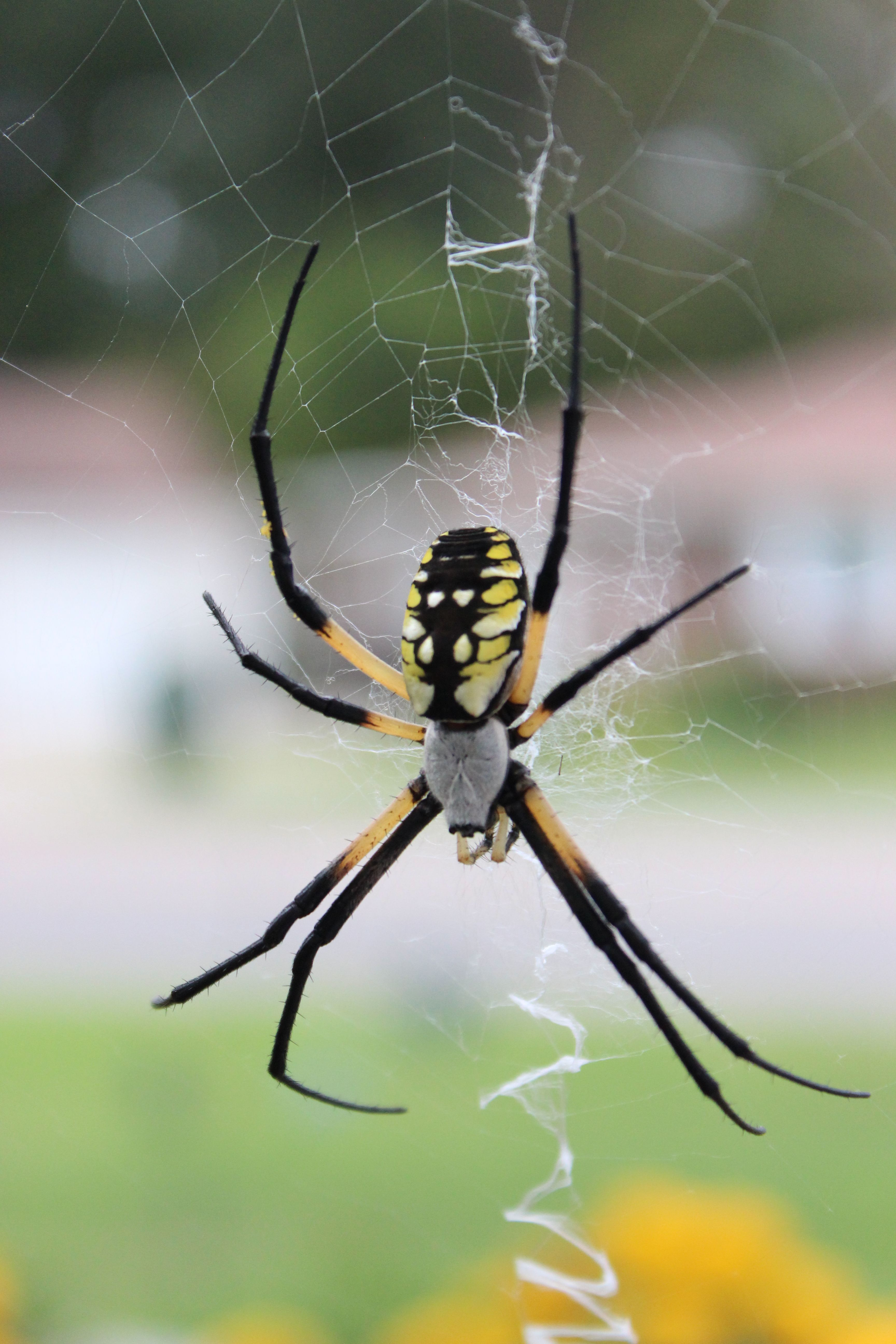 Orb Weaver, garden spider makes a zipper like web, said to