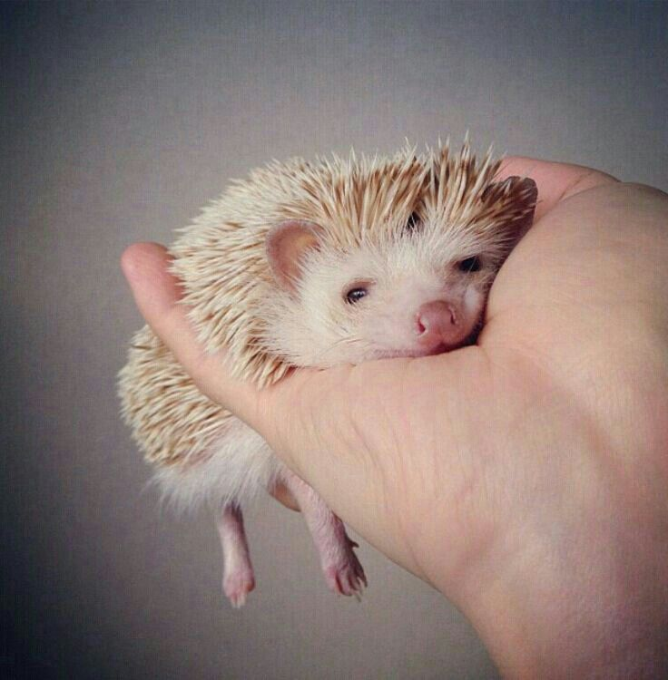 Some Days It S Very Tiring To Be A Little Hedgehog With Images Cute Hedgehog Cute Animals Animals Beautiful
