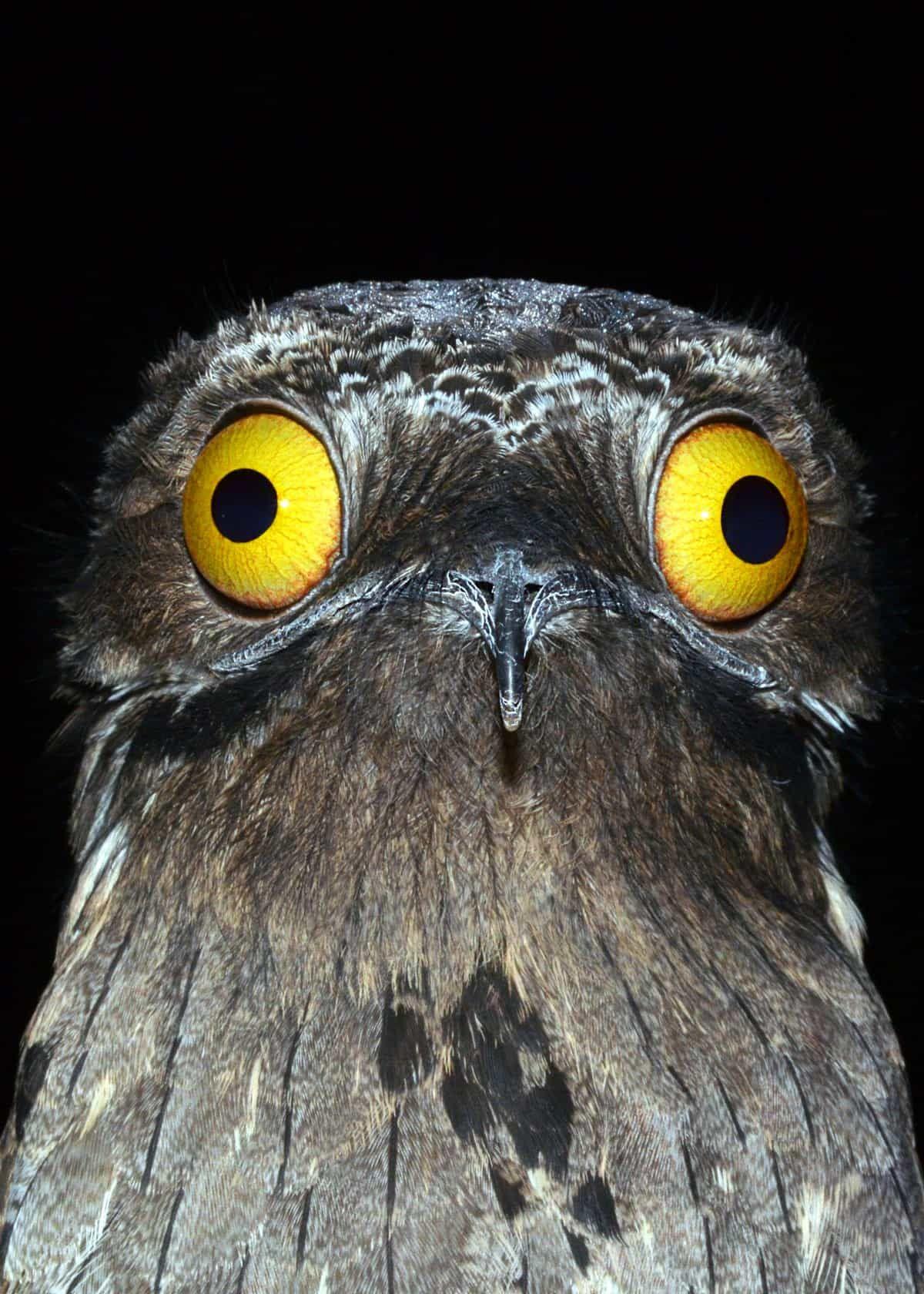 30 Potoo Facts: The Bird Behind the Meme (7 Potoo Species
