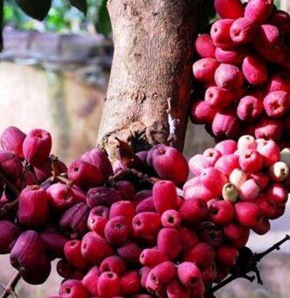 Jambu air bira jambu irianjambu papua httpbibitbunga jambu air bira jambu irianjambu papua httpbibitbunga ccuart Gallery