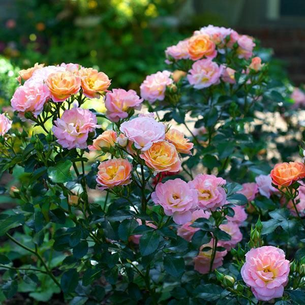 Peach Drift® Rose, 3 Gal- An Adaptable Rose Without The Fuss