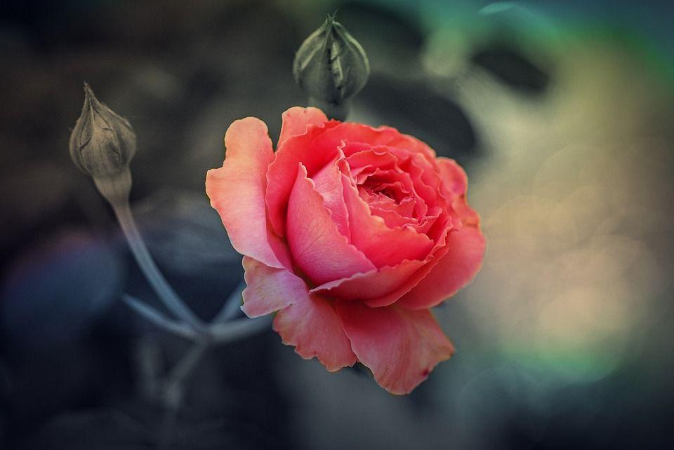 flor rosa - Pesquisa Google