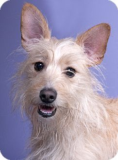 Pin By Sheri Berliner On Adoptable Pets Cairn Terrier Mix