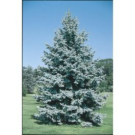 3.25-Gallon Colorado Blue Spruce (L3937) at Lowes. For my area ...