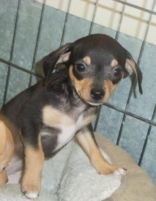 Adopt Girly On Chihuahua Dogs Cats Kittens Chihuahua