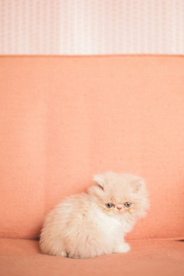 A kitten is the delight of a household. All day long a comedy is played out by an incomparable actor. ~Champfleury