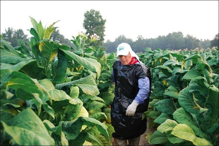 North Carolina Tobacco Farms Tobacco Farms In North Carolina Google Search Farm Images Little Country Girls Burley