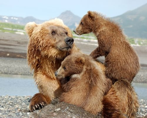 GRIZZLY BEAR WITH BABY'S