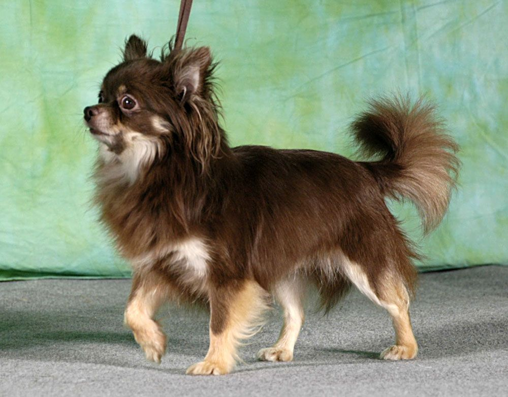 To be called Moose chocolate long haired chihuahua