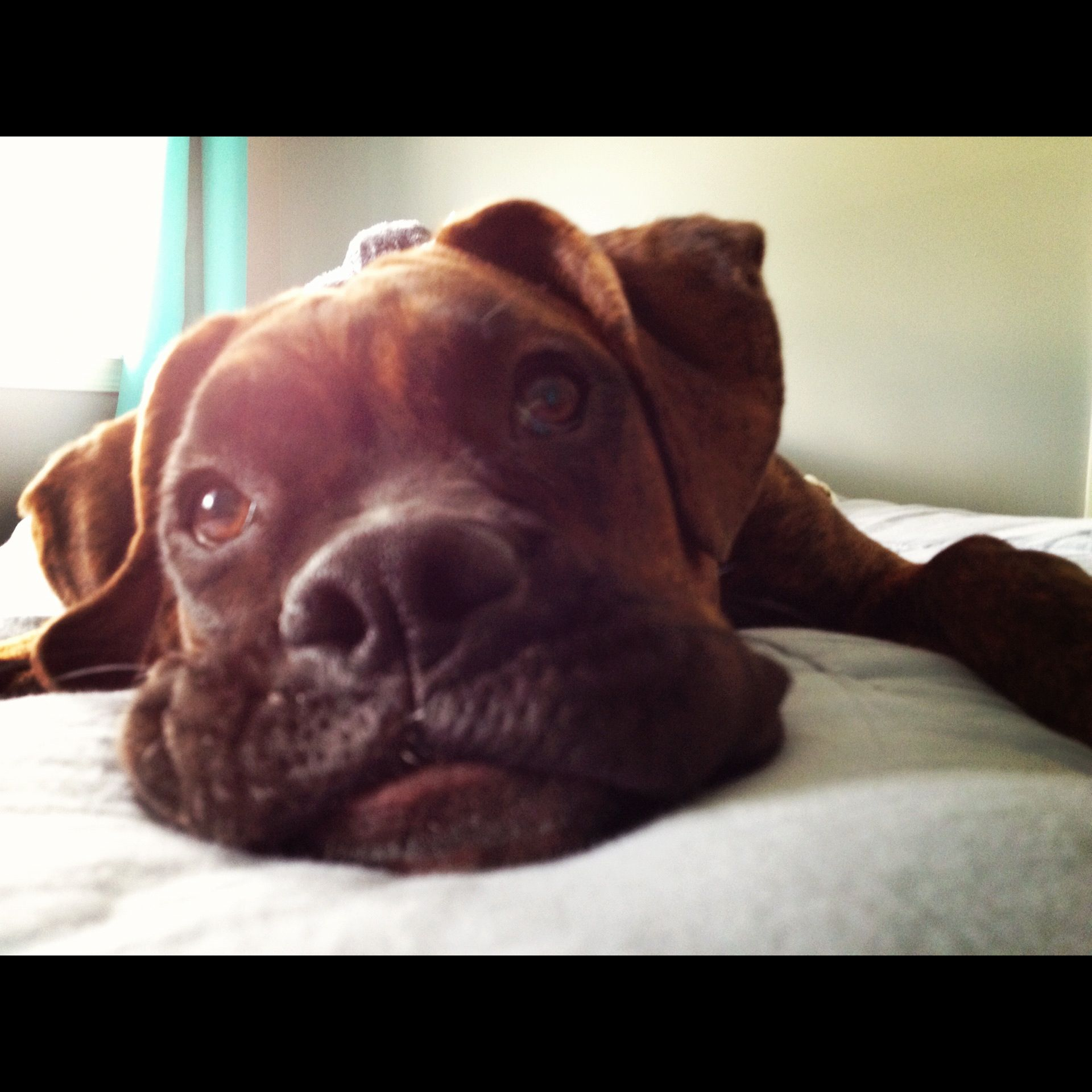 Boxer puppy Boxer puppies, Boxer puppy, Puppies