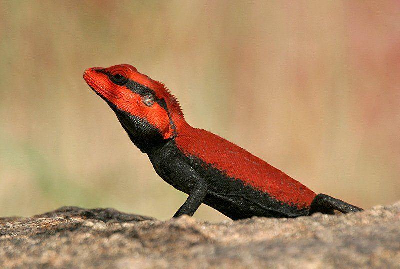 A Book Of Rather Strange Animals On Twitter Colorful Lizards Lizard Species Lizard