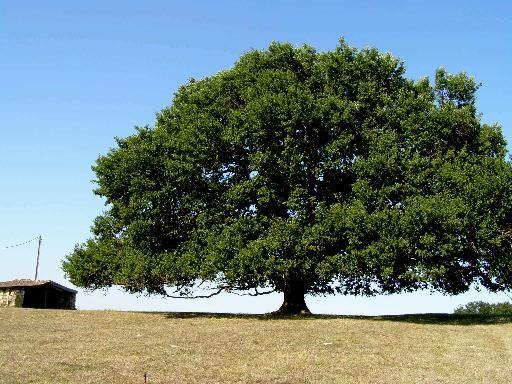 ch ne de tombeb uf lot et garonne arbres exceptionnels pinterest garonne arbres. Black Bedroom Furniture Sets. Home Design Ideas