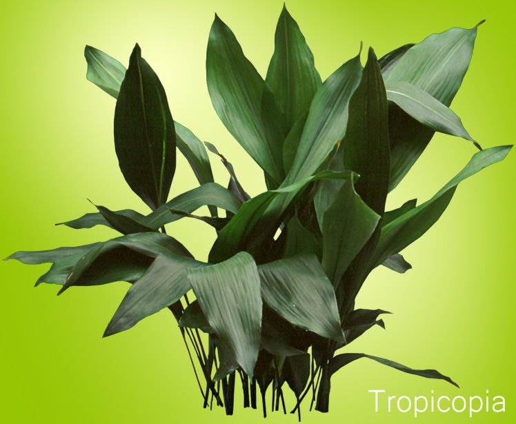 Cast Iron Plant - HousePlants Identify and Care ... House Identify Plant By Leaf on ash trees identification by leaf, vegetable identification by leaf, house plant with heart shaped leaves, vine identification by leaf, identify a plant leaf, house plant identification,