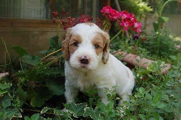 SkyeDoodles.com: Big Parti Boy is almost ready to go home!! #labradoodle #australian_labradoodle #puppies #puppy #GA #Georgia #doodles #doodle