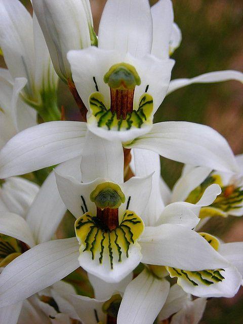 Orchid, orchidée petit bonhomme vert?!? extraterrestre, champignon qui nous sourit?!? Vous en pensez quoi vous?