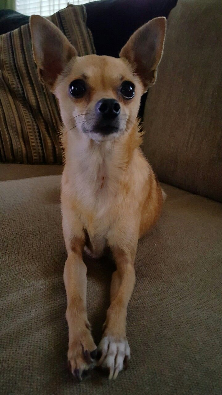 Twinkles The Deer Head Chihuahua Deer Chihuahua Baby