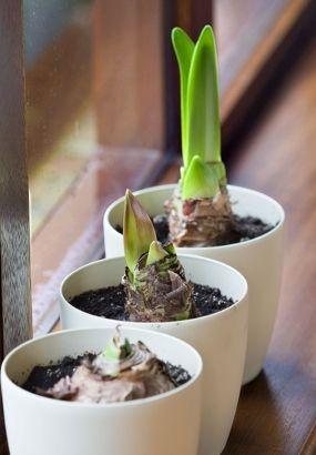 Faire Refleurir Son Amaryllis Planter Des Bulbes Bulbes