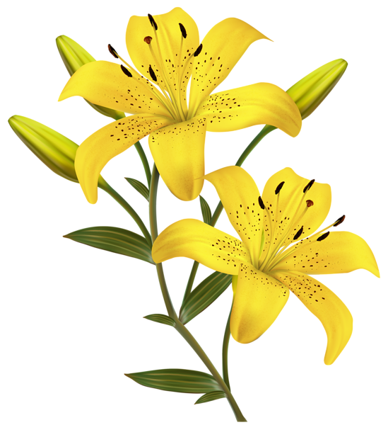 Yellow Lilies PNG Clipart Image 꽃그림, 예쁜 꽃 그림, 꽃