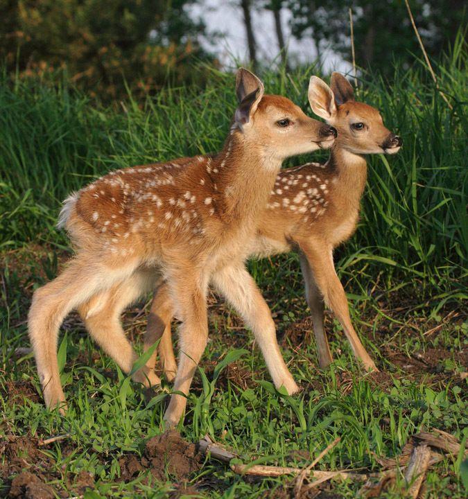 Baby Animals Photo Fawn Deer Baby Deer Deer Photos Baby Animals