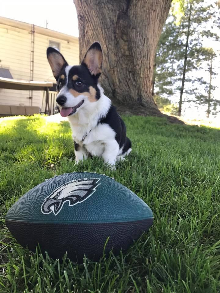 Born To Be An Eagles Fan Corgi Corgioverload Cuteness