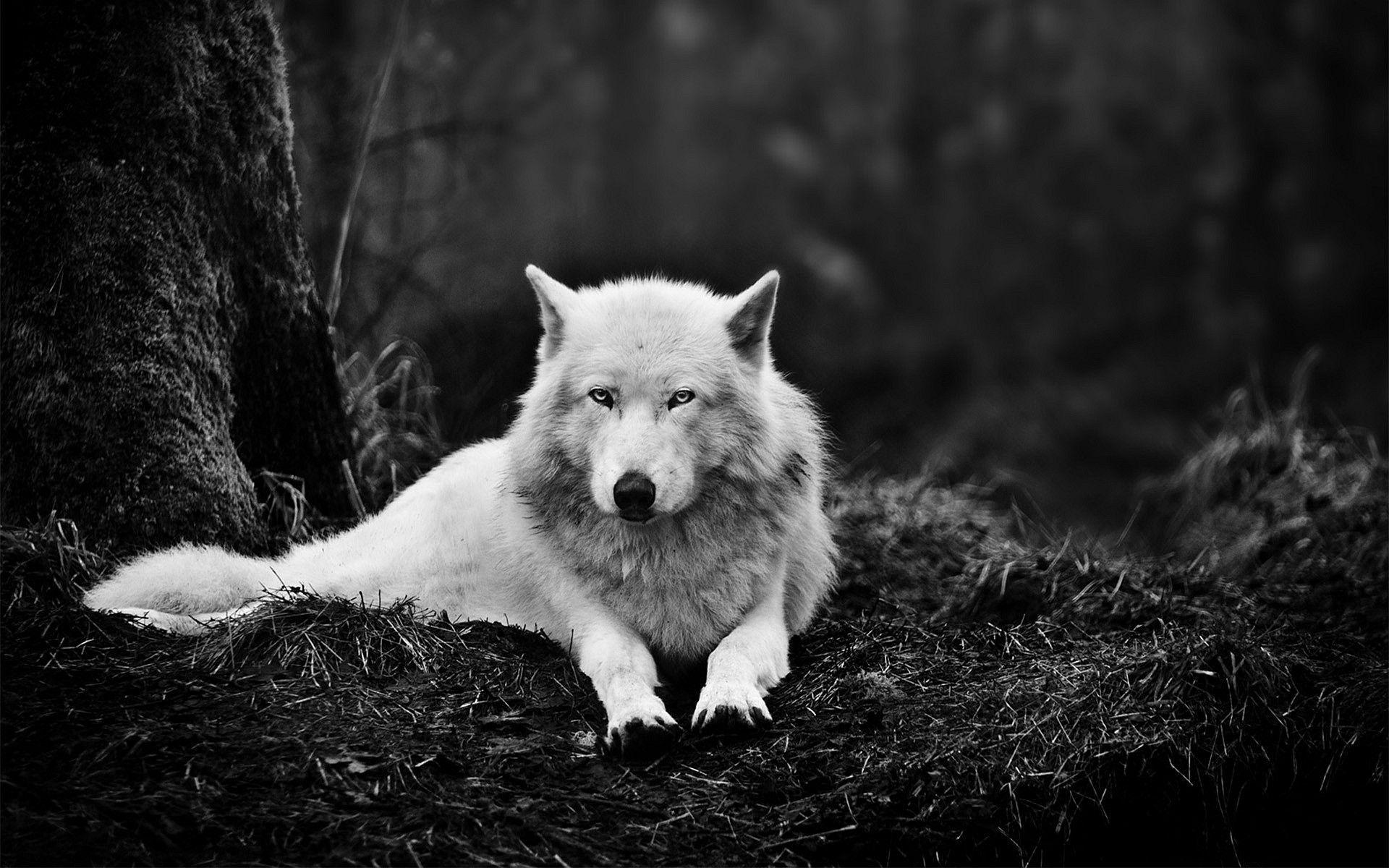White Wolf Wallpaper Widescreen