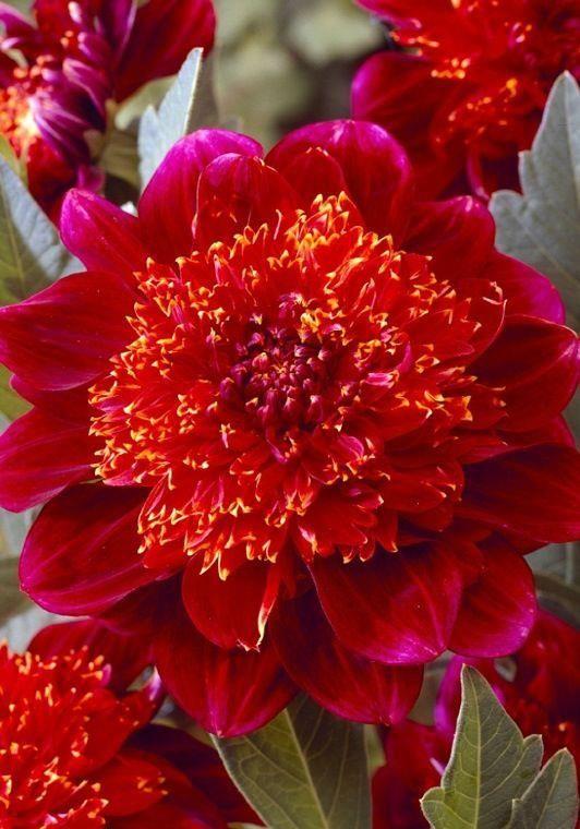 Gorgeous Jive Anemone Dahlia Idees De Jardin Fleur Fleurs De