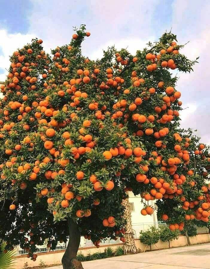 Mexeriqueira (Citrus reticulata) carregada de frutos. Esta