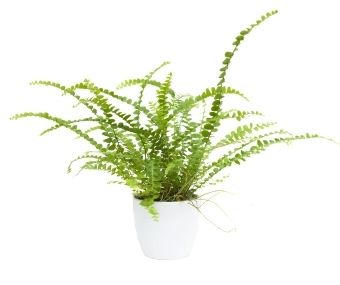 Pellaea Rotundifolia, Or Button Fern, Is A Dependable Plant That Grows Well  Indoors With