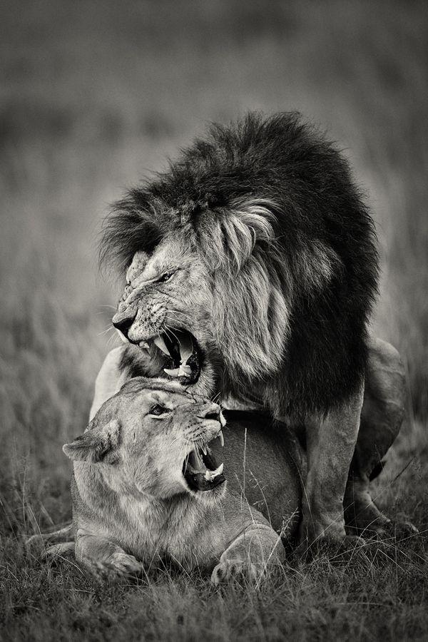 Лев и львица картинка черно белая