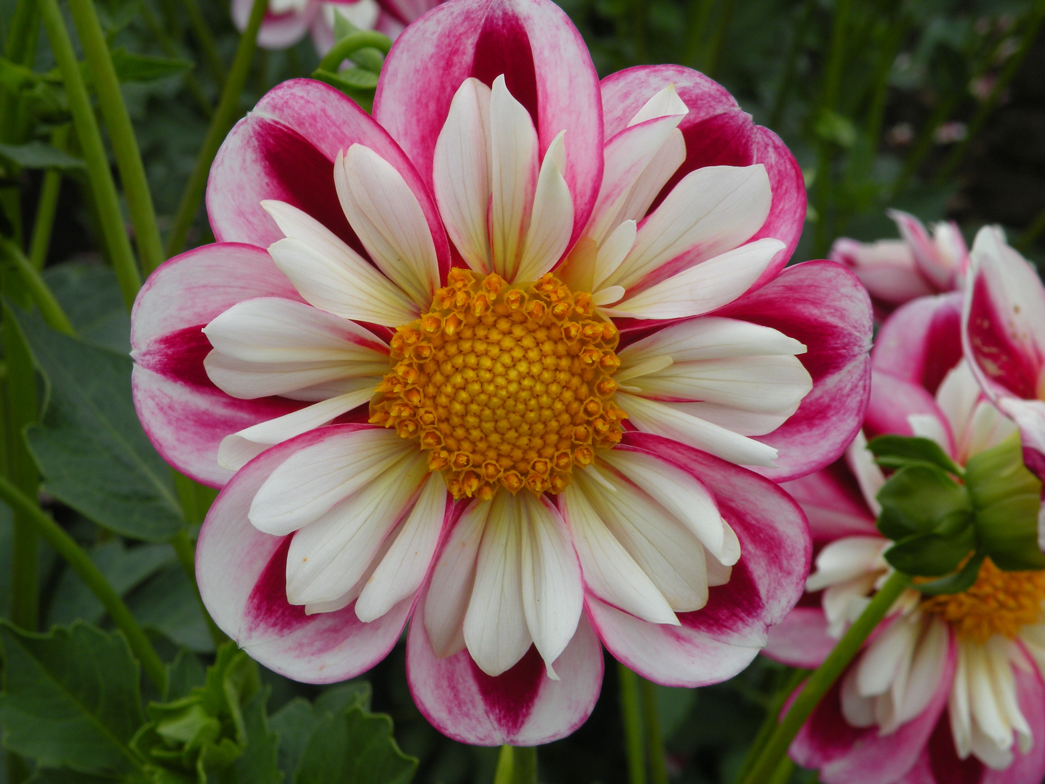 Swan Island Dahlia Festival Canby Or Flower Garden Flower