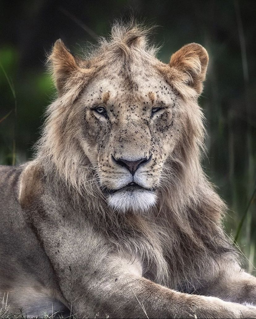 Lion  Follow for more  panther