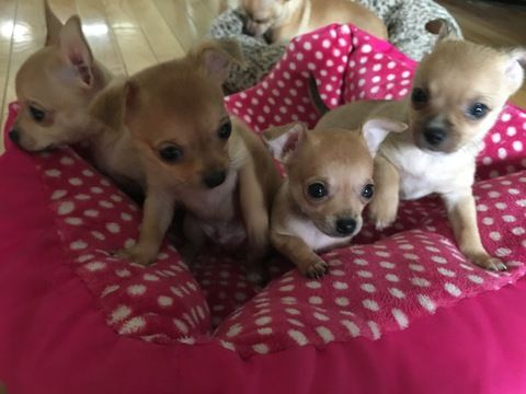 Chihuahua Puppy For Sale In Woburn Ma Adn 54494 On Puppyfinder