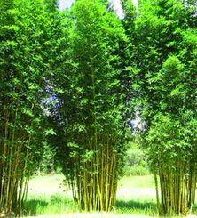 Bamboo Flowering Gardens Bamboo Plants Bamboo Garden