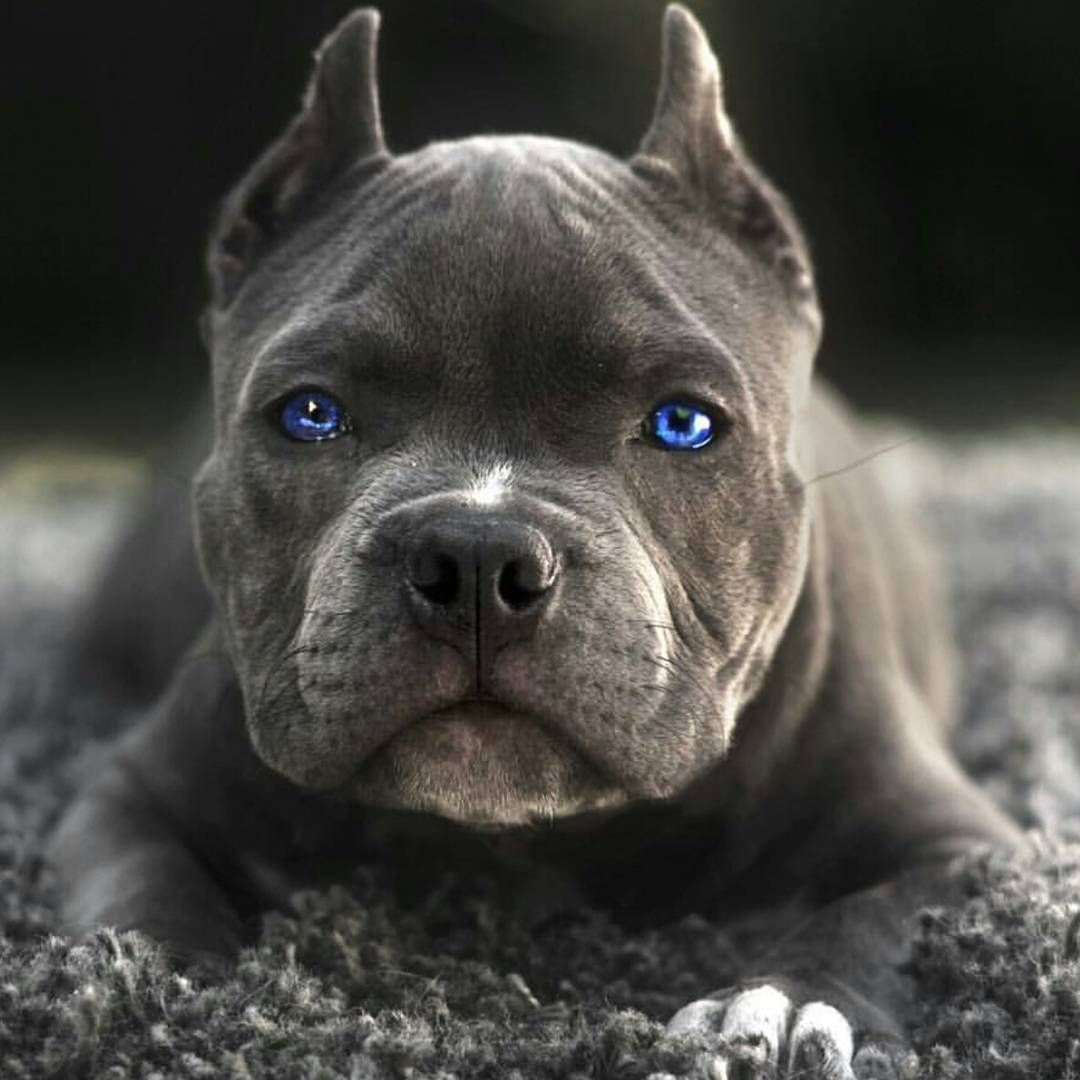 Those Eyes Americanbully Puppy Abkc Puku The Bully Pitbull Facts Puppies Dogs