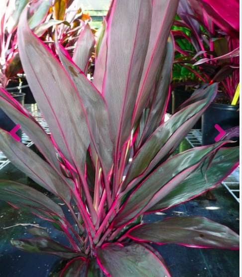 Cordyline fruticosa 'Cuero'  Common Name:  Origin: New Guinea and Southeast Asia  Height: Up to 6'  Light: Partial sun to shade  Water: Moderate  Bloom: Sporadic clusters of tiny, purple, star-like flowers