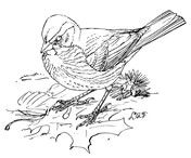 Fox Sparrow Coloring Page Coloring Pages Animal Drawings